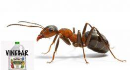 Vinegar is Great Natural Ant Killer