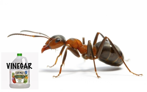Vinegar is Great Natural Ant Killer